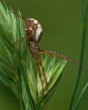 Spinne Mangora-Acalypha Lizenzfreie Stockfotos