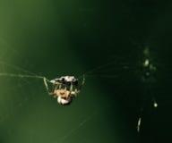 Spinne mit aufgefangenem Insekt Stockfotos