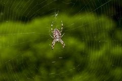Spinne mit dem Kreuz, das im Netz sitzt lizenzfreie stockbilder