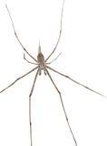 Spinne mit den langen Fahrwerkbeinen Lizenzfreies Stockbild