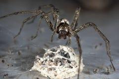 Spinne mit Ei Stockfotos