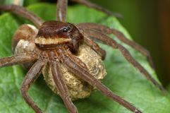 Spinne mit einem Kokon. Lizenzfreies Stockfoto