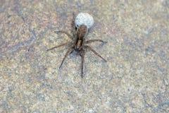 Spinne mit Eitasche stockfotografie