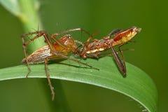 Spinne mit Opfer Stockfoto