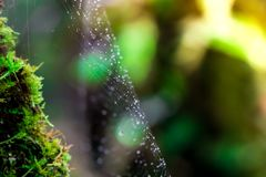 Spinne mit Wassertropfen Sprössling und grüner Mooshintergrund, Baum mit grünem Moos Eine Abbildung einer Batikauslegung in zwei  Lizenzfreie Stockfotografie