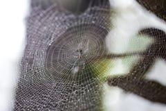 Spinne mit Wassertropfen Sprössling und grüner Mooshintergrund, Baum mit grünem Moos Eine Abbildung einer Batikauslegung in zwei  Stockbilder