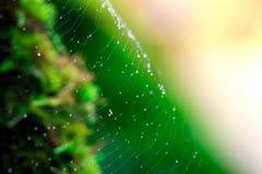 Spinne mit Wassertropfen Sprössling und grüner Mooshintergrund, Baum mit grünem Moos Eine Abbildung einer Batikauslegung in zwei  Stockbild