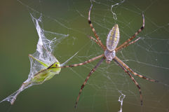 Spinne mit Zufuhrbehälter im Web Stockfotos
