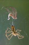 Spinne nachdem dem Verschütten Stockfoto