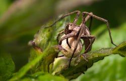 Spinne (Pisaura-Mirabilis) Lizenzfreie Stockbilder