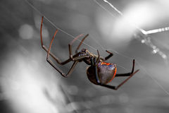 Spinne, Redback oder schwarze Witwe Stockbilder