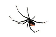 Spinne, Redback oder schwarze Witwe, getrennt auf Weiß Stockfotografie