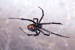 Spinne, Rot-zurück, Lacrodectus Hasselti Lizenzfreie Stockfotografie