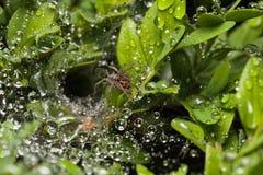 Spinne ` s Nest nach dem Regen stockfotos