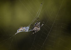 Spinne in seinem Web Lizenzfreies Stockbild