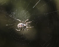 Spinne in seinem Web Stockfoto