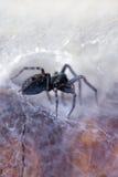 Spinne in seinem Web (badumna insignis) Lizenzfreies Stockfoto