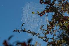 Spinne spinnt ein goldenes Netz Lizenzfreies Stockfoto
