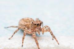 Spinne, springende Spinne auf Wand lizenzfreie stockbilder