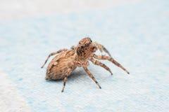 Spinne, springende Spinne auf Wand lizenzfreie stockfotos