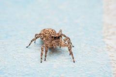 Spinne, springende Spinne auf Wand lizenzfreies stockfoto