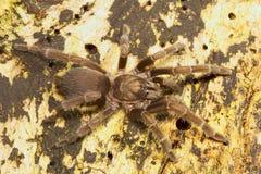 Spinne, Theraphosidae, Belianchip, Tripura, Indien Stockfotos