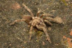 Spinne, Theraphosidae, Gumti, Tripura, Indien Stockfoto