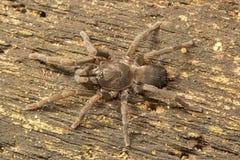 Spinne, Theraphosidae, Manu, Tripura, Indien Stockbilder