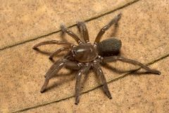 Spinne, Theraphosidae, Trishna, Tripura, Indien Stockfotografie