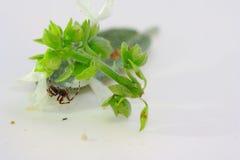 Spinne und der Basilikum Lizenzfreies Stockbild