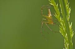 Spinne und Gras stockbild