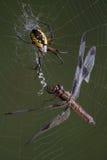 Spinne und Libelle im Web Stockfoto