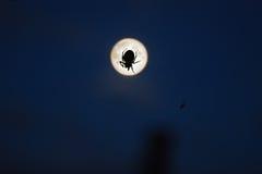Spinne und Mond Stockbild