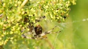 Spinne und sein Opfer stock footage