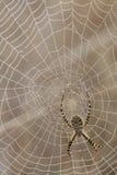 Spinne und Spinnen-Web Stockbild