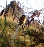 Spinne und Spinnennetz Stockfotos