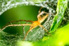 Spinne und Spinnennetz auf grünem Blatt im Wald Lizenzfreies Stockfoto