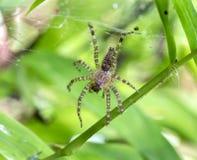 Spinne und Spinnennetz auf grünem Blatt im Wald Stockbild