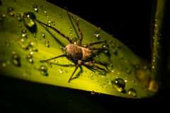 Spinne und Tau Lizenzfreie Stockbilder