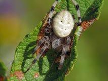 Spinne von Familie Argiopidae. lizenzfreies stockbild