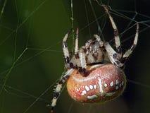 Spinne von Familie Argiopidae Lizenzfreies Stockfoto
