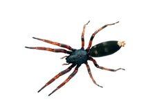 Spinne, weiß-angebunden. Lampona-Spezies, Körperlänge 16mm Stockbilder