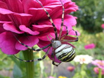 Spinne Zerbe Stockbilder