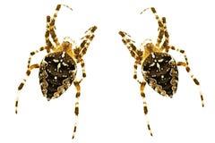 Spinnen lizenzfreie stockfotos