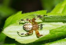 Spinnen Lizenzfreie Stockbilder