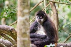 Spinnen-Affe, der auf einem Baum im Dschungel sitzt Lizenzfreies Stockbild