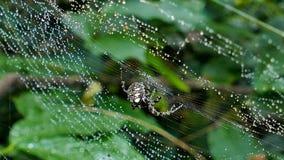 Spinnen auf Netz nach dem Regen stock video