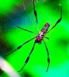 Spinnen auf Wanderweg - Costa Rica Lizenzfreie Stockbilder
