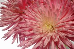 Spinnen-Chrysantheme-Anordnung Lizenzfreies Stockfoto