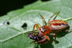 Spinnen-Essen stockfotografie